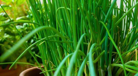 Plantation, culture et récolte de la ciboulette