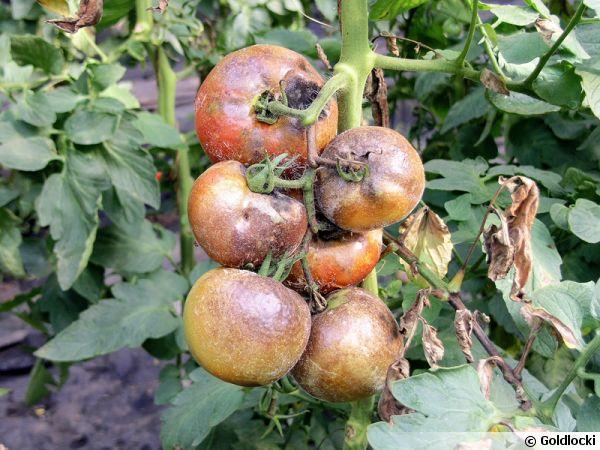 maladie-mildiou-tomates