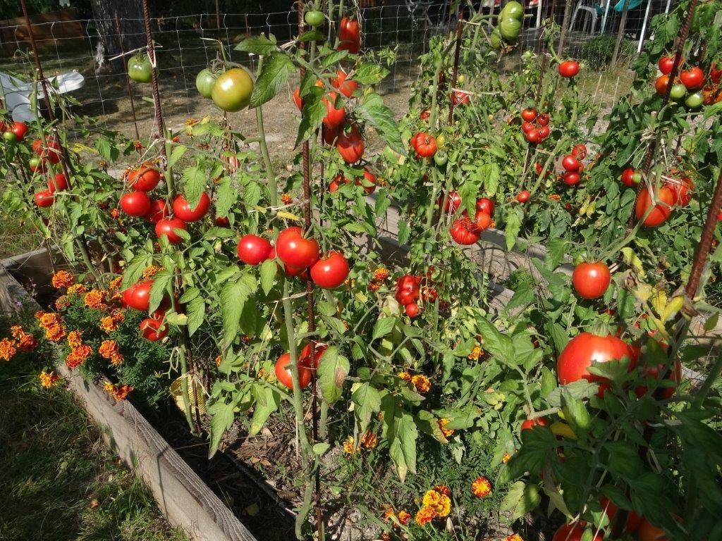 maladies plans de tomates