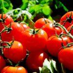 tomate planter