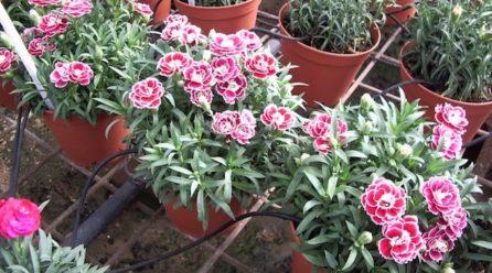 Dianthus : culture et entretien de l'œillet