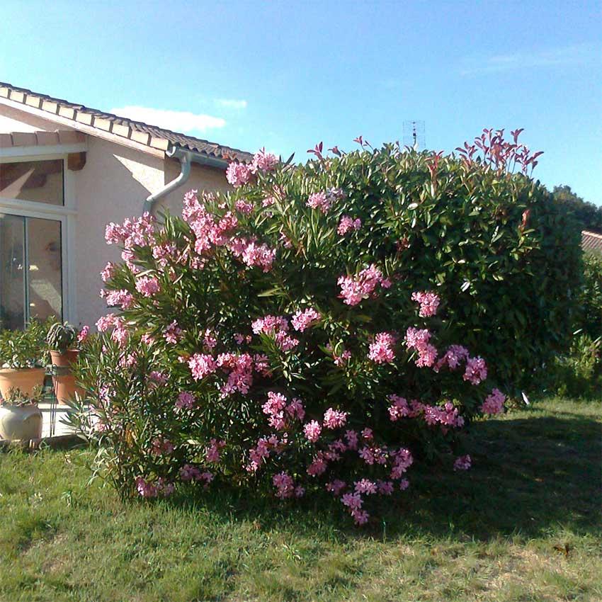 Le laurier-rose