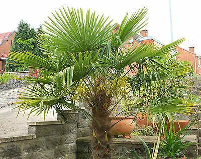 Palma trachycarpus fortunei