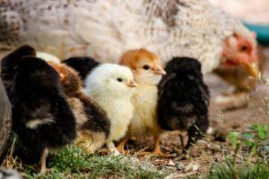 Élever des poules dans son jardin: de nombreux avantages