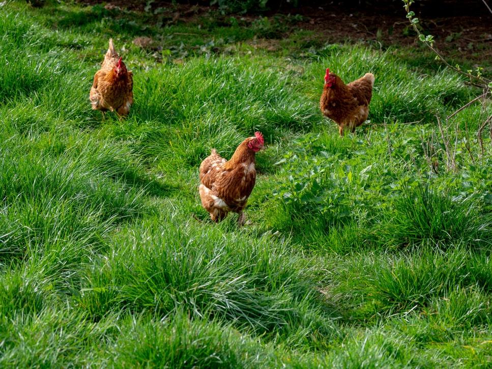elever des poules et faire un poulailler chez soi