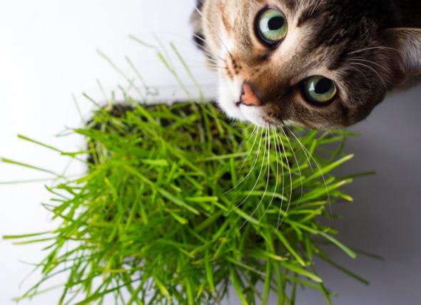 herbe a chat anti moustique puissant naturel