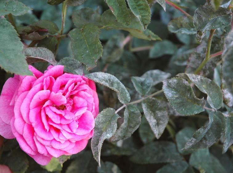 odium maladie du rosier