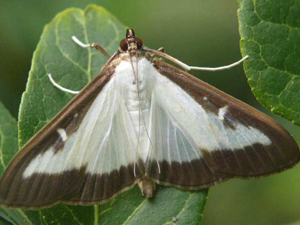 papillon de la pyrale du buis