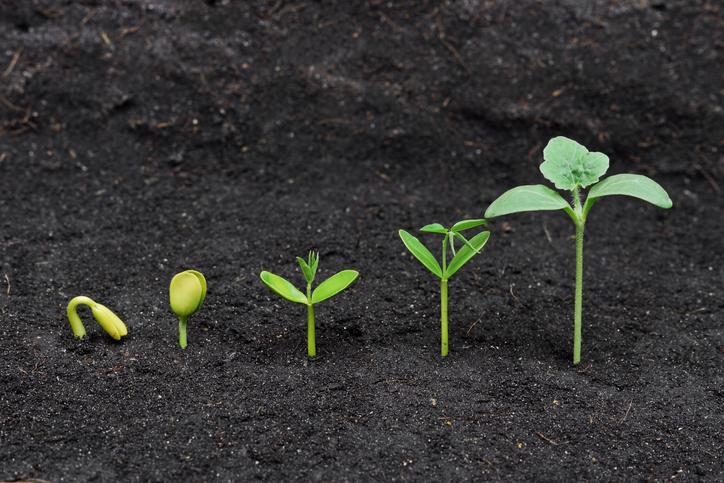 plante monocotylédone