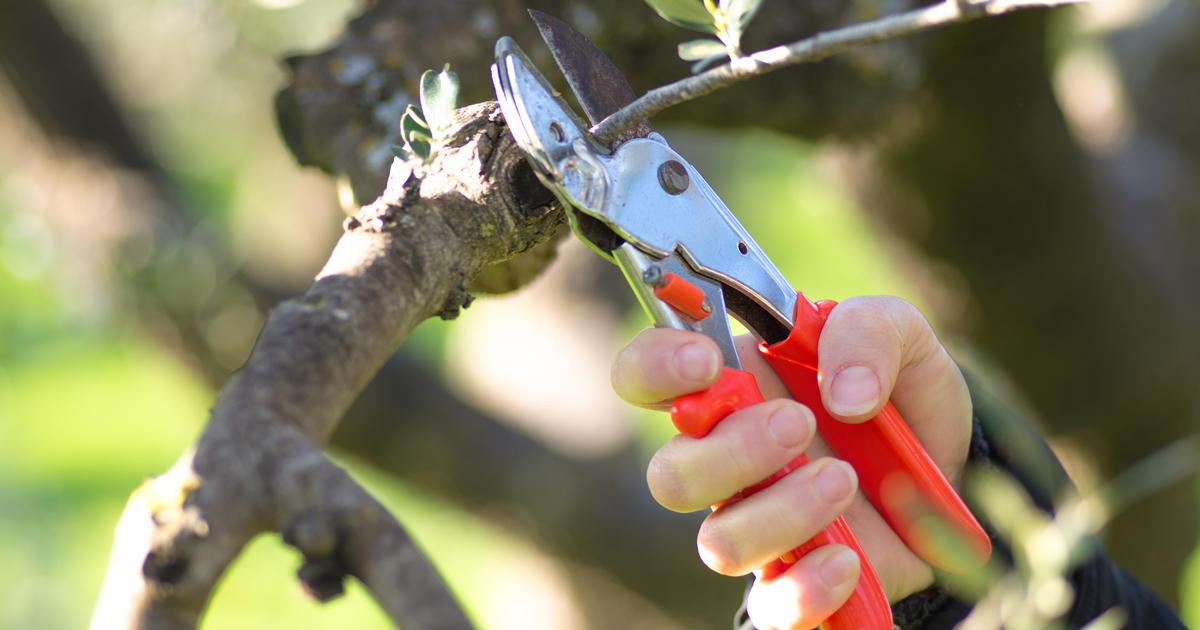 Comment tailler un olivier