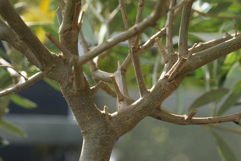 branches de l'olivier