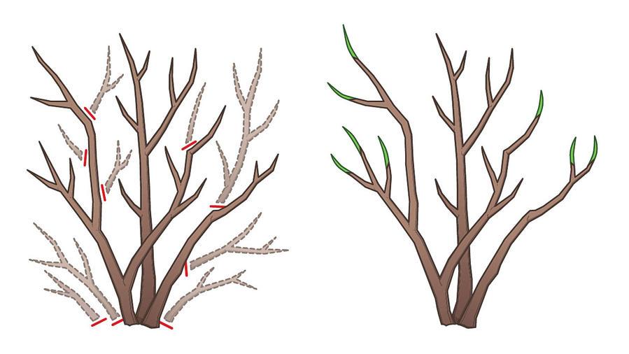 schéma taille des rosiers en hiver ou automne