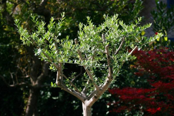 tailler un olivier