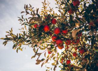 Tout savoir sur la taille des arbres fruitiers : calendrier, méthodes, astuces