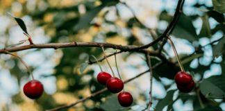 cerisiers et ses fruits