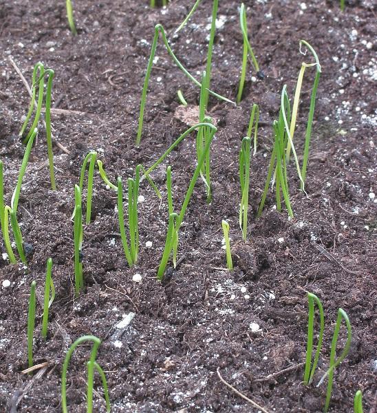 jeunes plants de poireaux prêts à être repiqués
