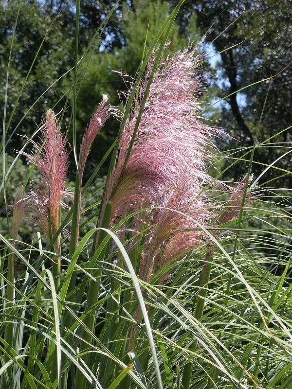 floraison rose d'une herbe de la pampa