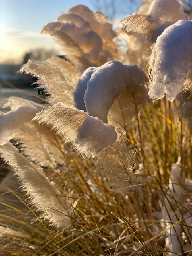 floraison sous la neige d'herbe de la pampa