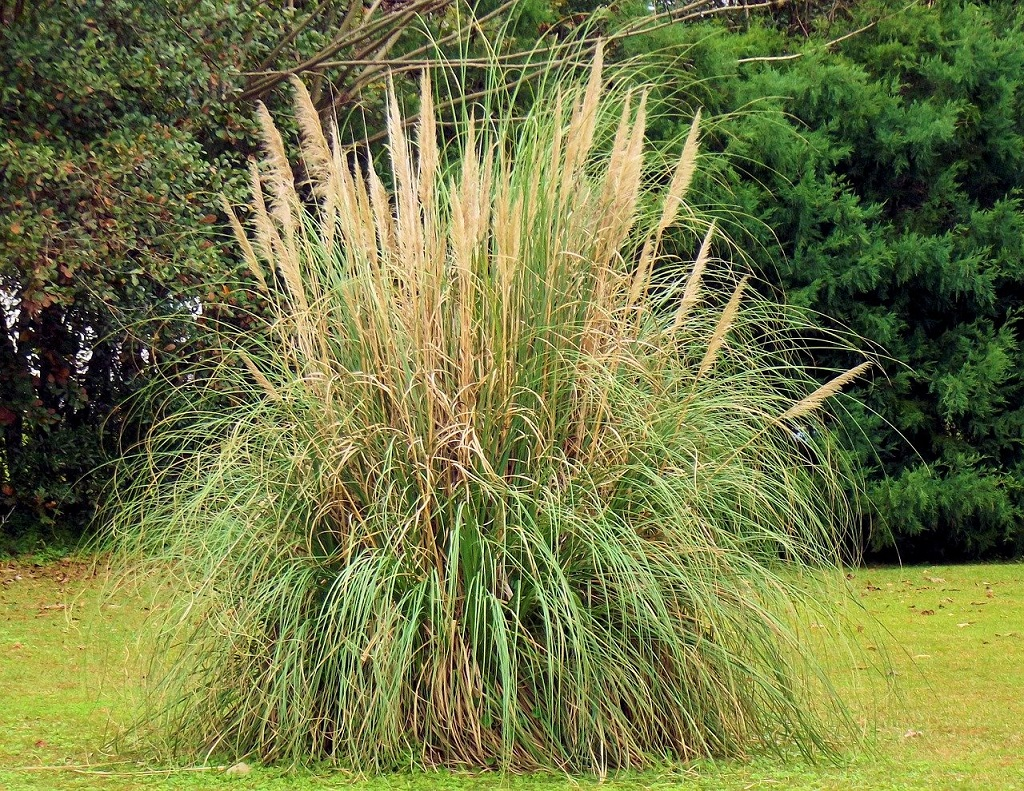 herbe de la pampa taille adulte