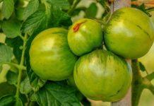 tomates vertes