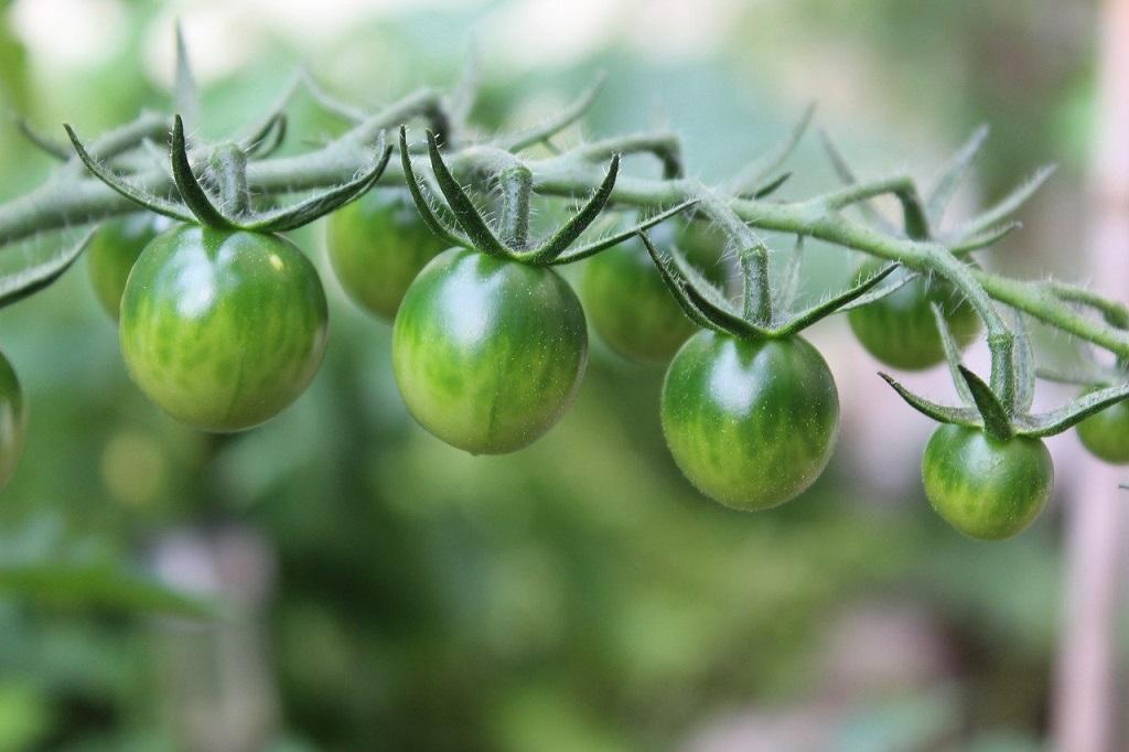 tomates vertes sur pied