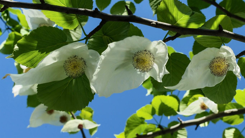 Arbre aux mouchoirs fleurs blanches