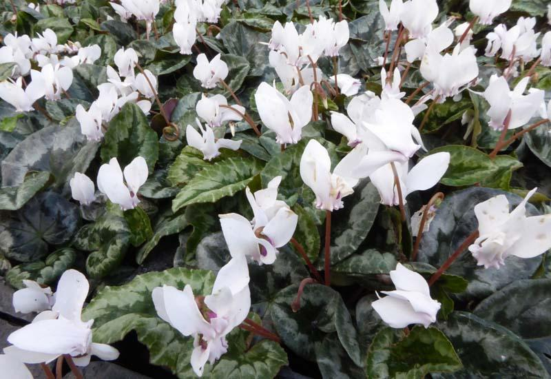 Cyclamen blanches