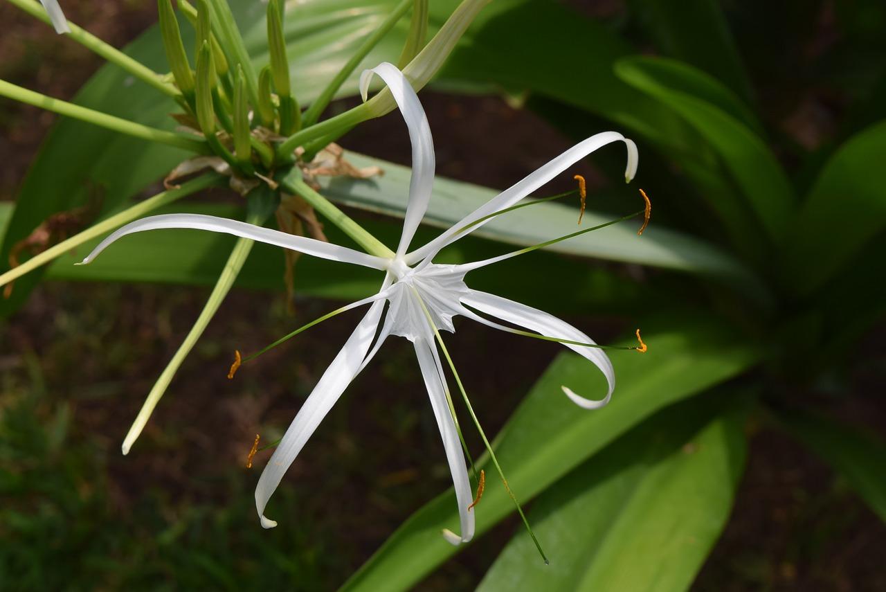 Hyménocallis blanc
