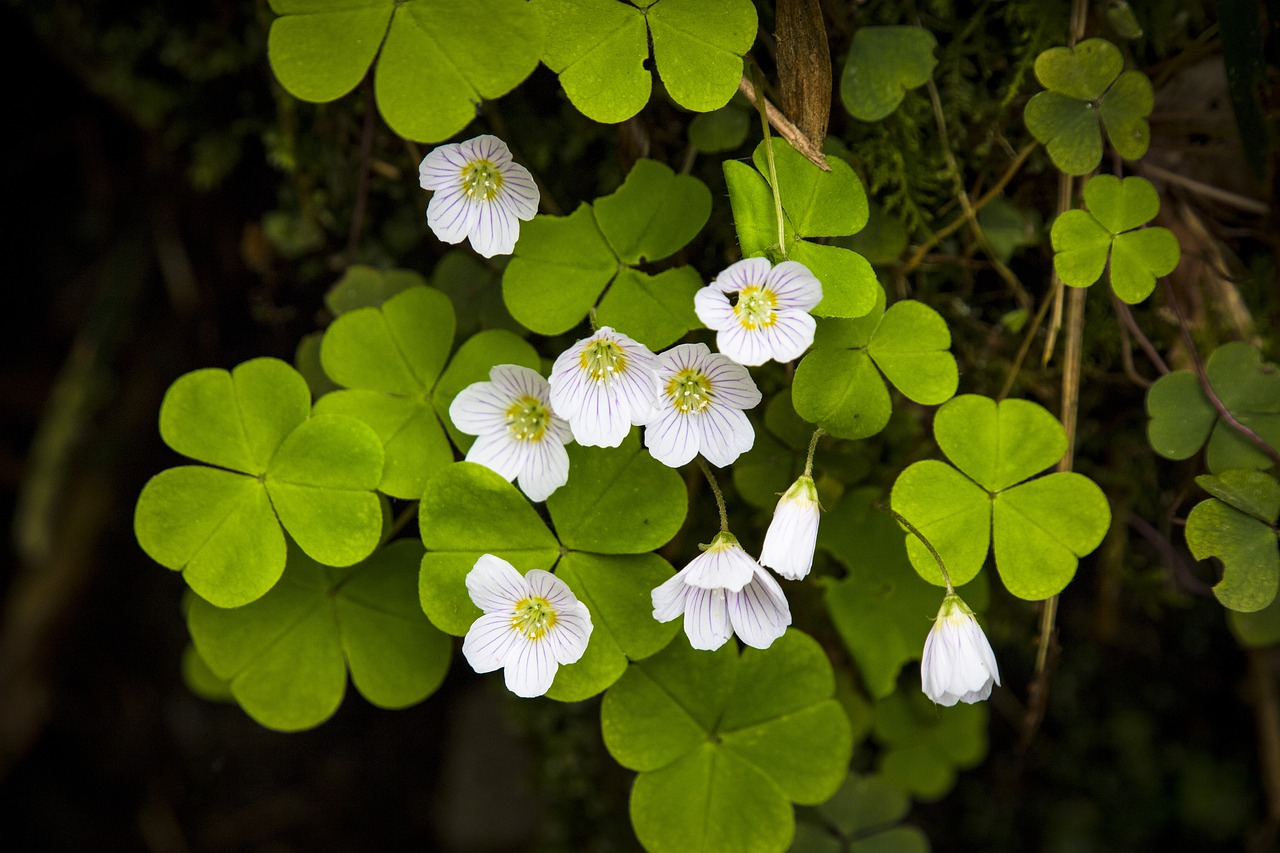 Oxalis blanches