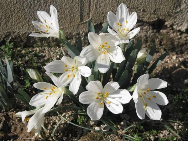 Sternbergia à fleurs blanches