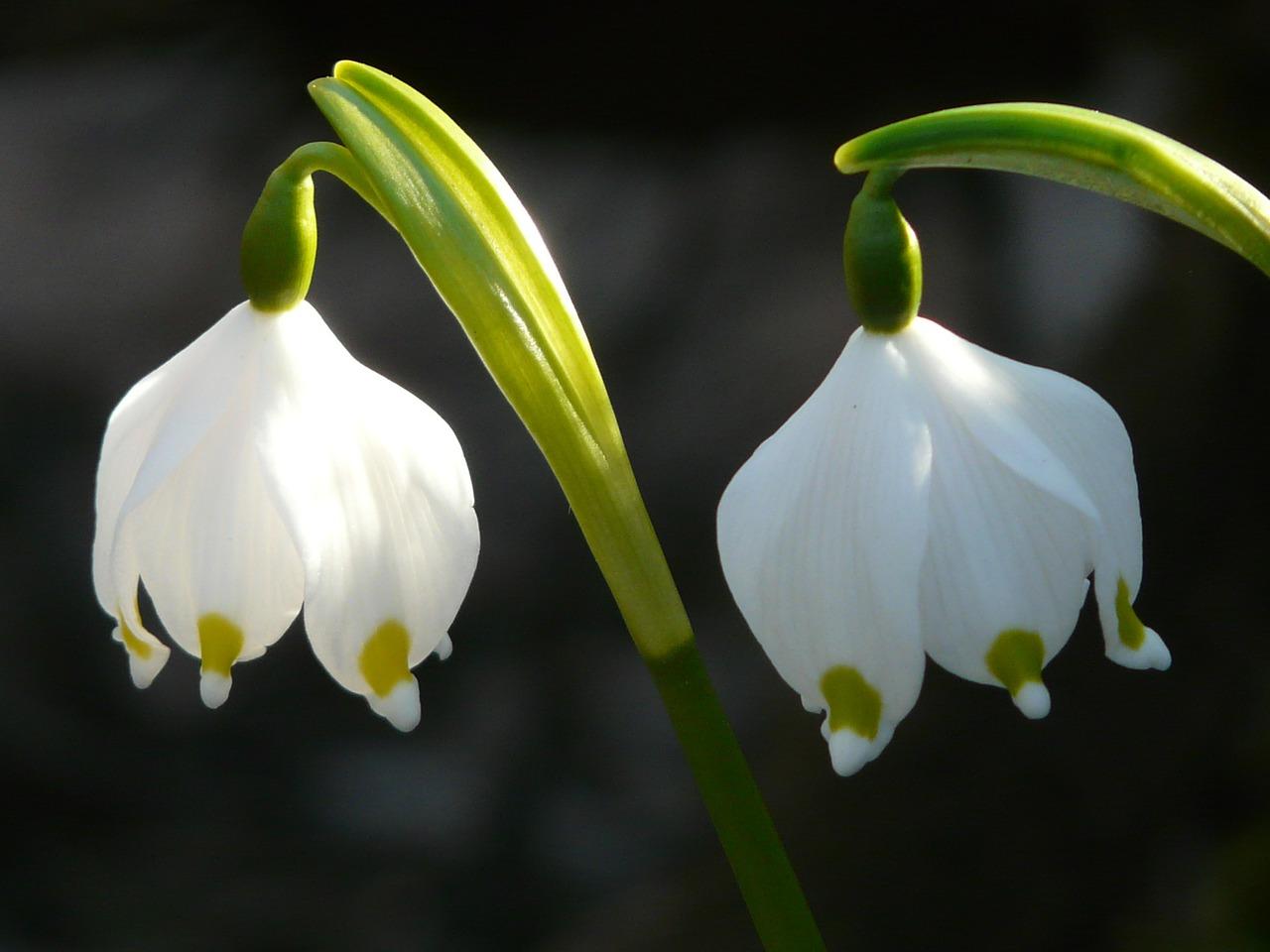 clochette blanche du Leucojum