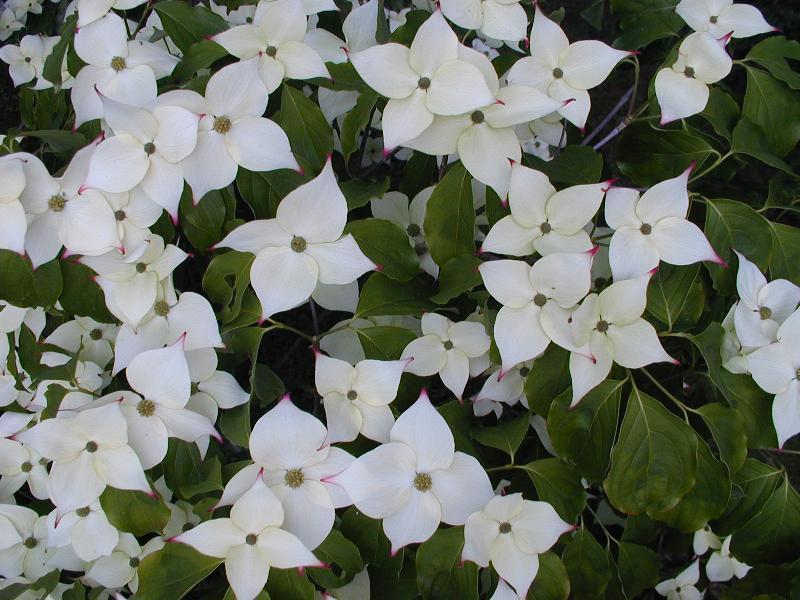 fleurs blanches Cornouiller du Japon