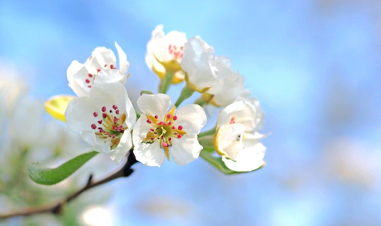fleurs blanches du pommier à fleur