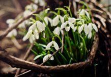 plante à fleurs blanches de nos jardins