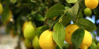 Citronnier-en-pot-quel-entretien