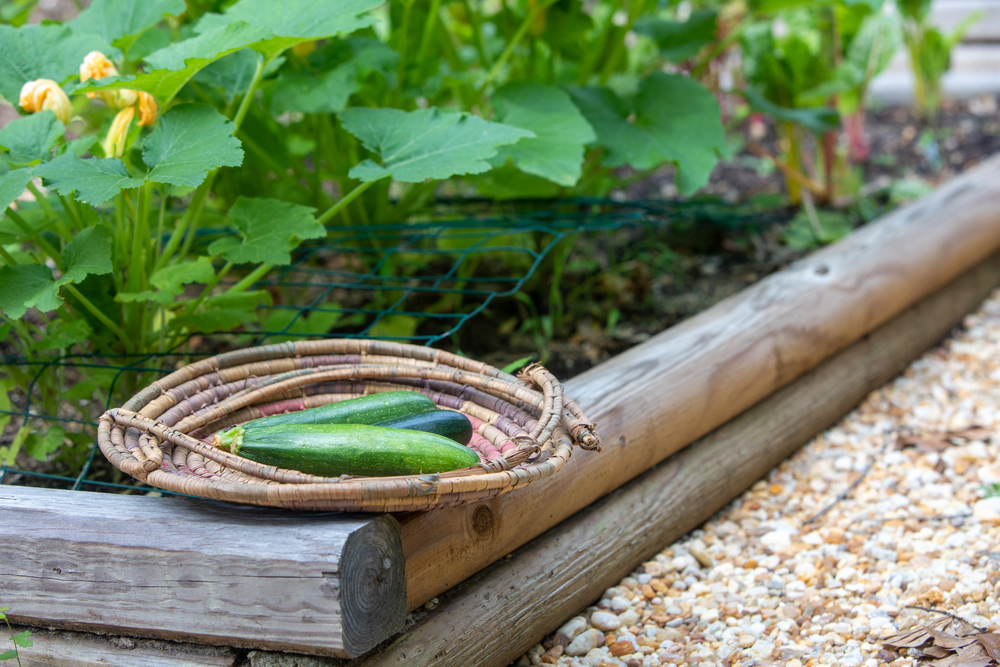 récolte-courgette