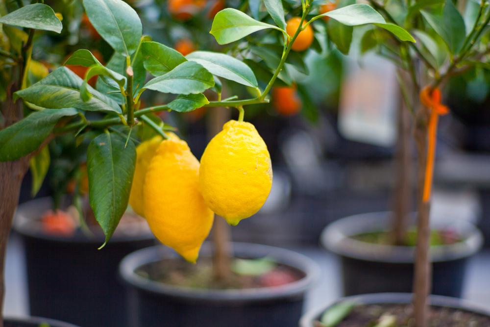 entretien-citronnier-en-pot
