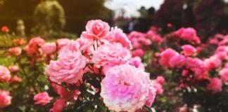 Boutures de rosier comment faire