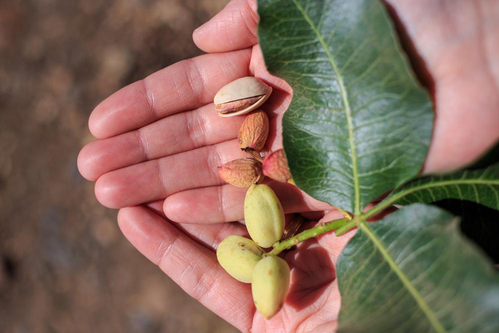 fruit pistachier