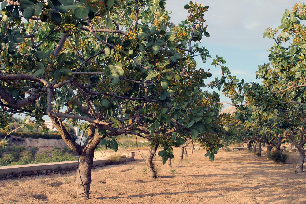 pistachier arbre