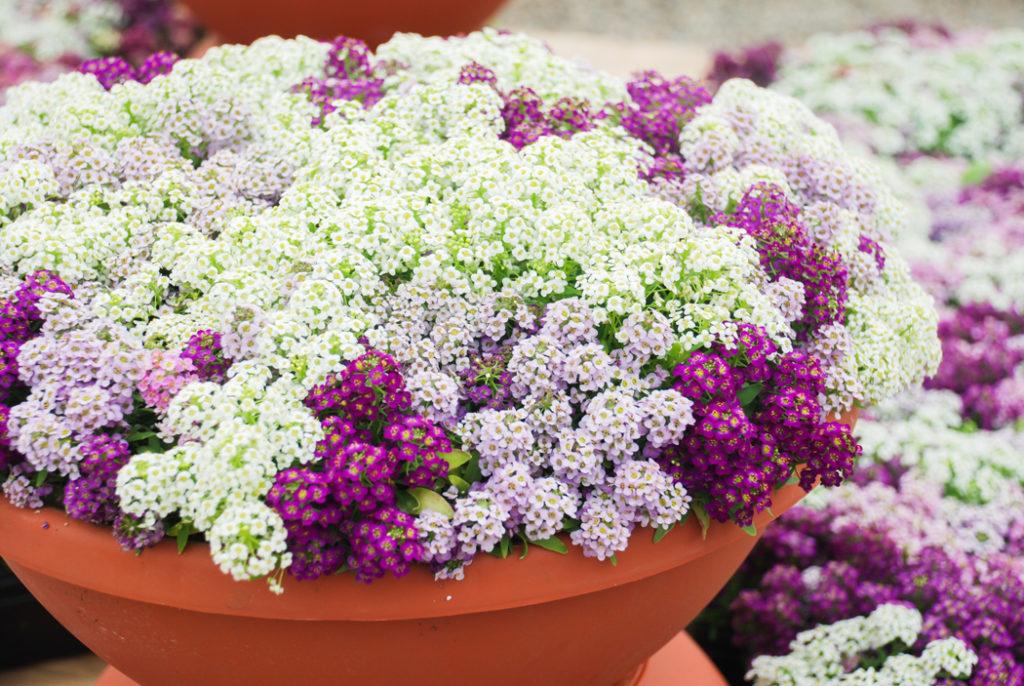 plantes vivaces fleurie toute l'année