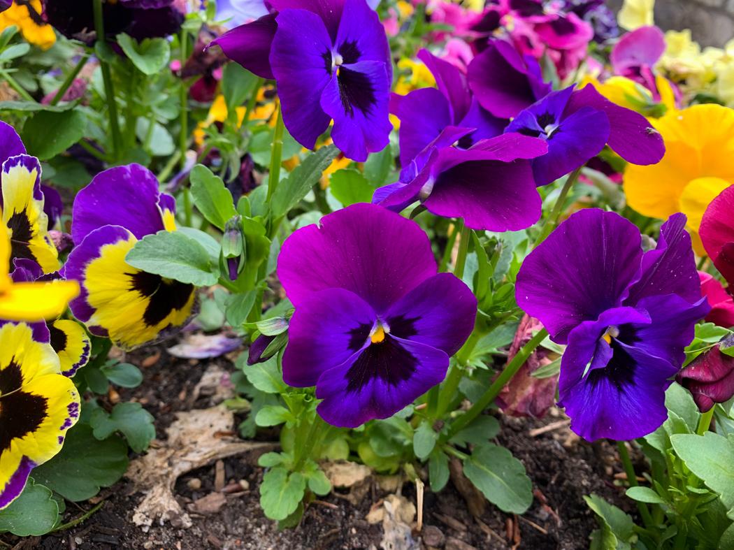 plantes vivaces fleuries année (1)