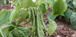 Quand semer les haricots verts