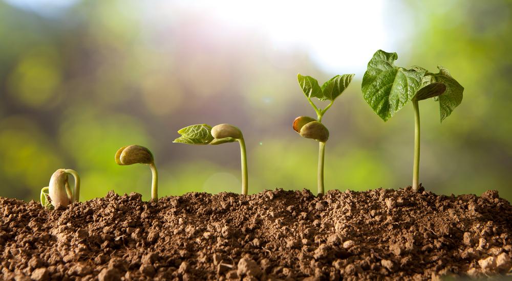 semer haricots verts avec la lune