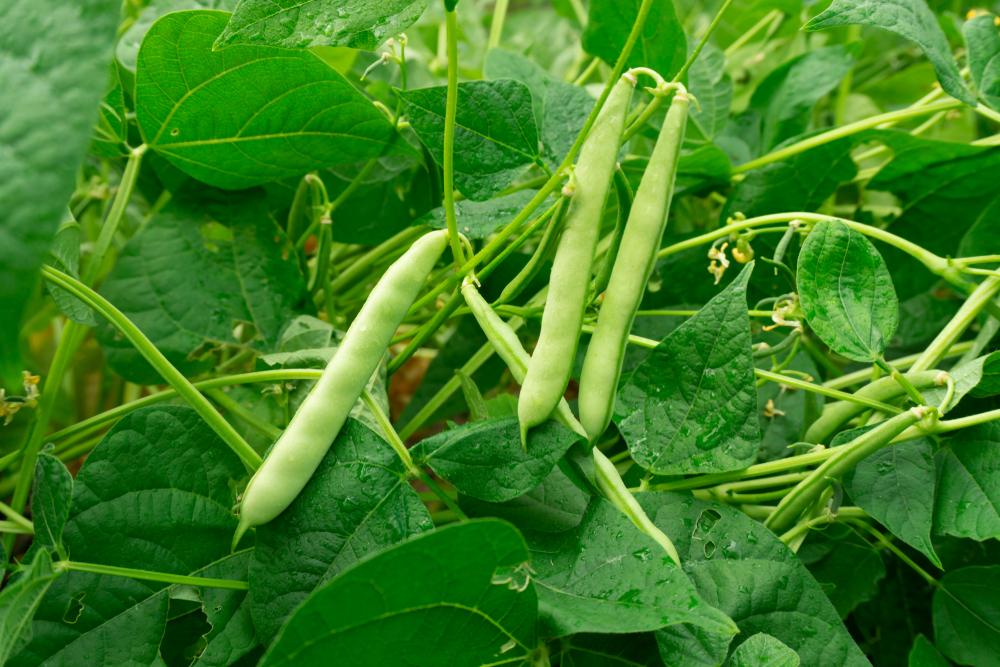 semer haricots verts