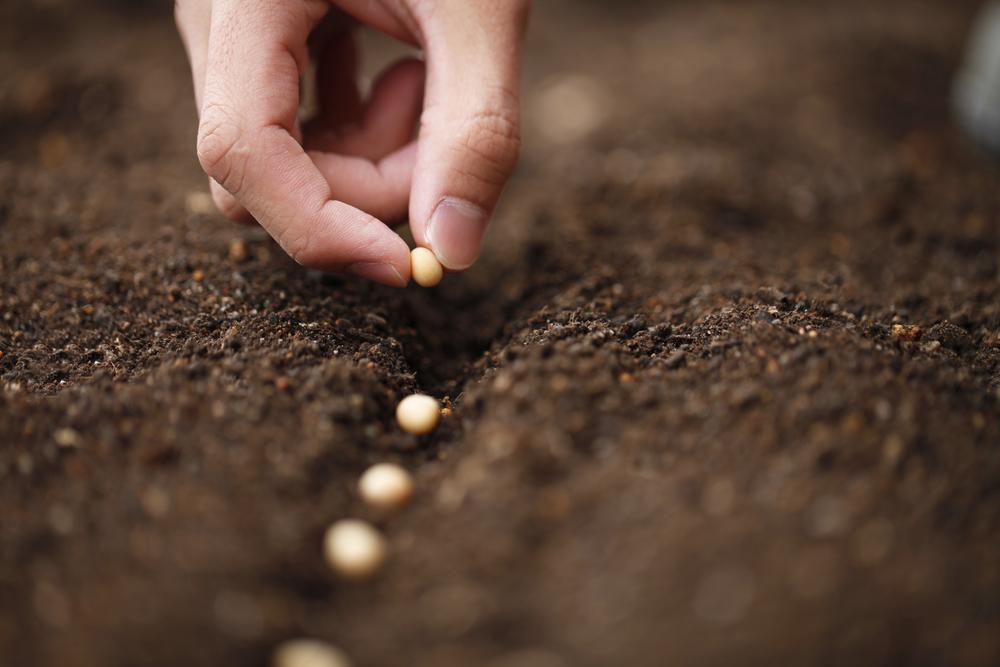 semer le haricot verre en terre