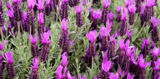 Lavande papillon plantation, entretien, floraison