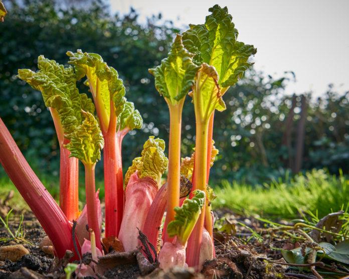 Purin de rhubarbe avantages, recettes, utilisation
