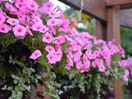 Surfinia culture, entretien, floraison