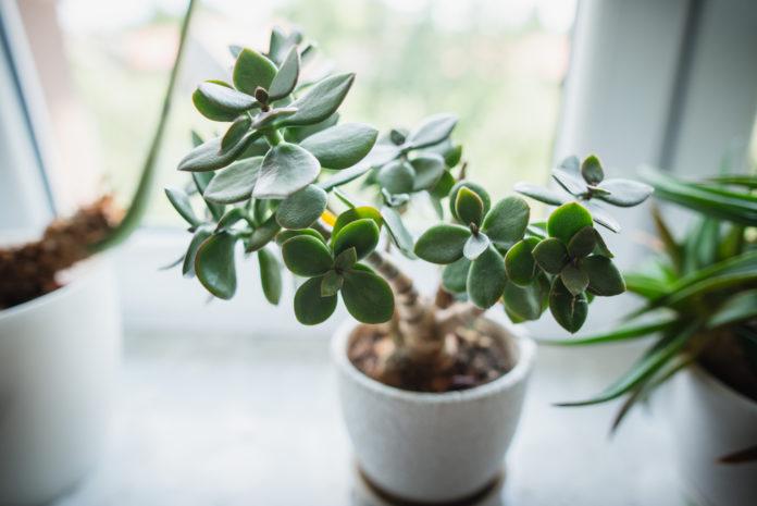 Crassula ovata (arbre de jade) entretien, arrosage, taille, plantation